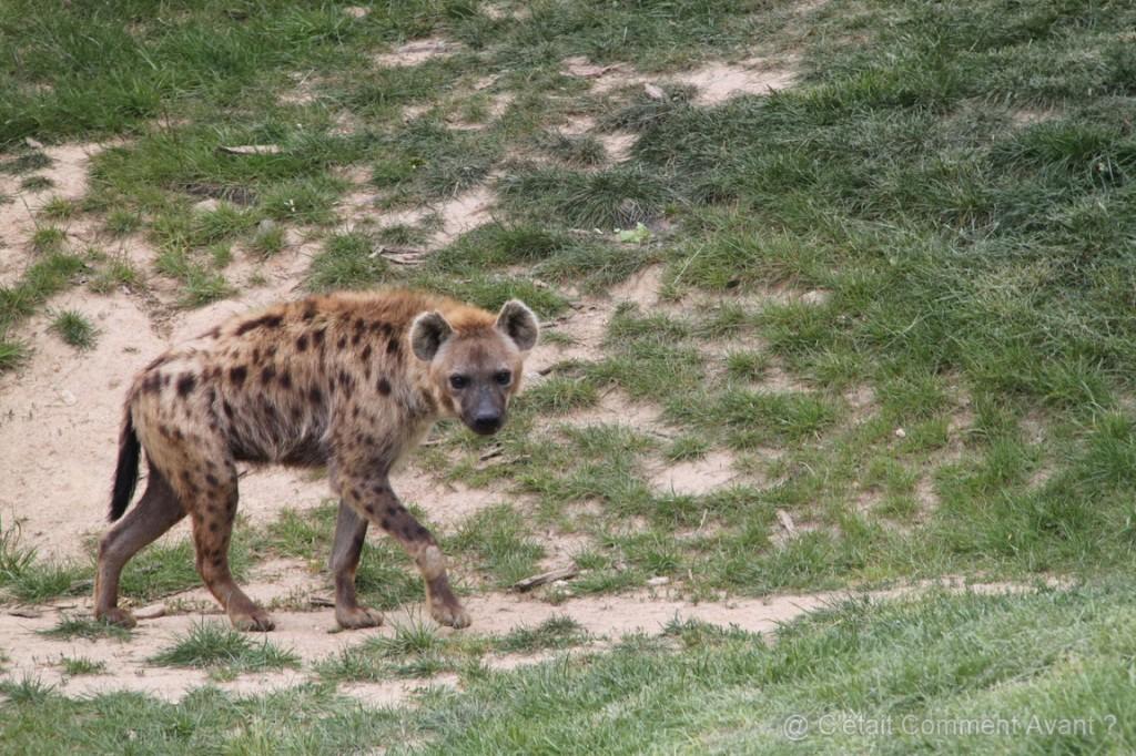 coucou la hyène !