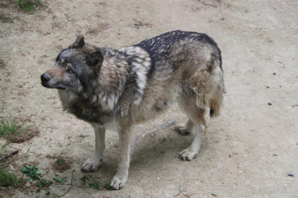 c'est beau un loup !
