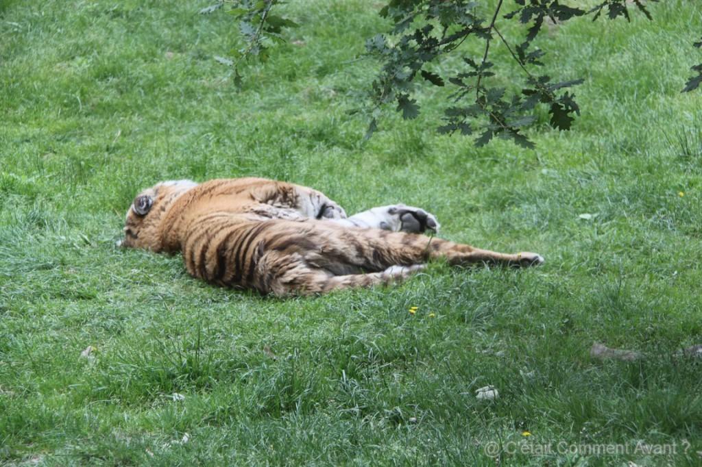 Bon le tigre n'est pas plus en forme que le lion !