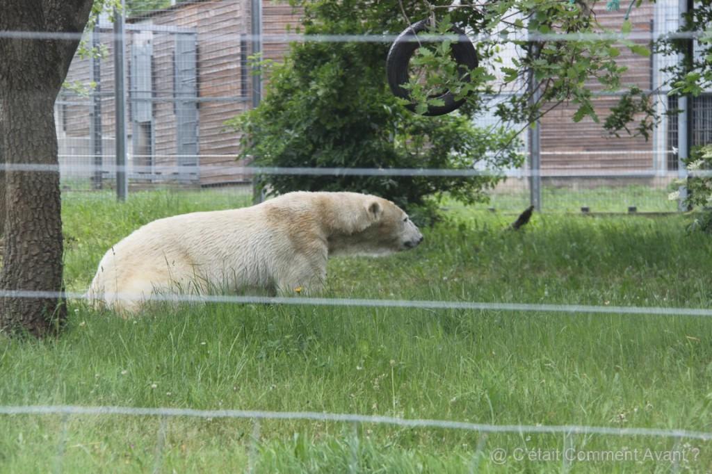 L'ours polaire n'est pas en liberté (ouf!)