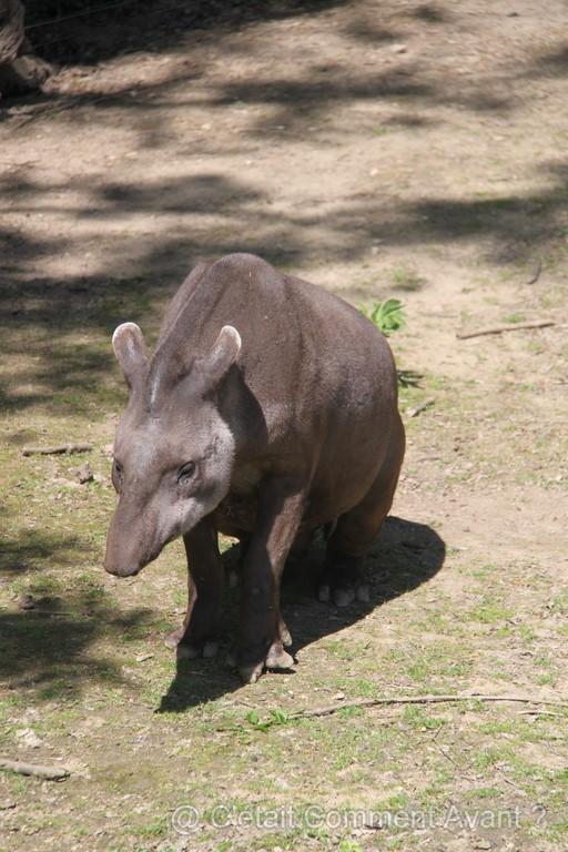 Coucou le tapir
