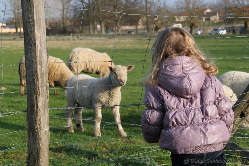 Faire un coucou à des moutons
