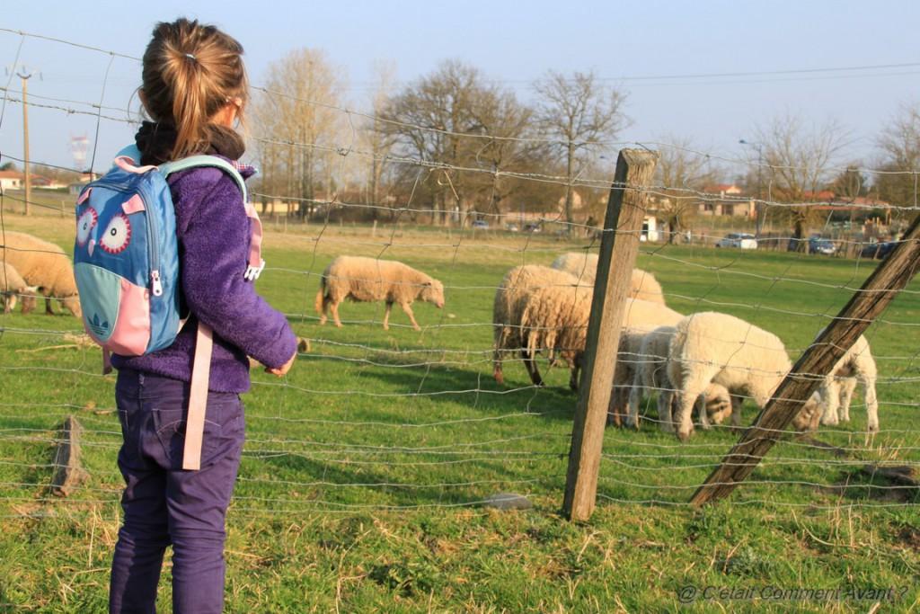 Faire un coucou au mouton bis